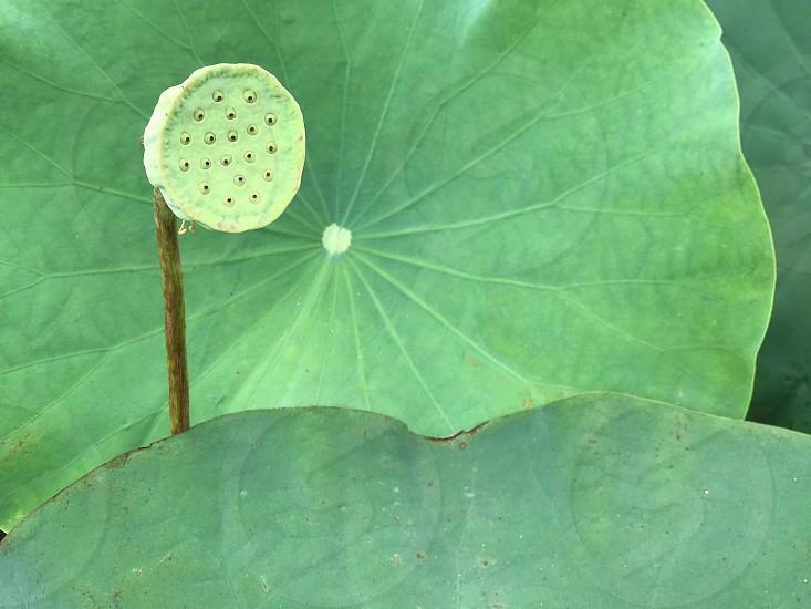 #green #lotus #nature #lotus leaves #lotus pod #serenity #tranquility #botany photo