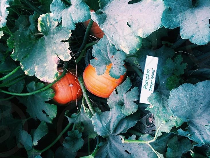 Pumpkins growing in garden photo