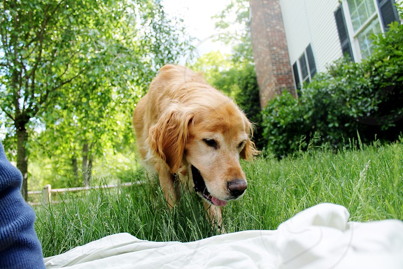 Playing with golden retriever dog in yard during summer picnic. photo