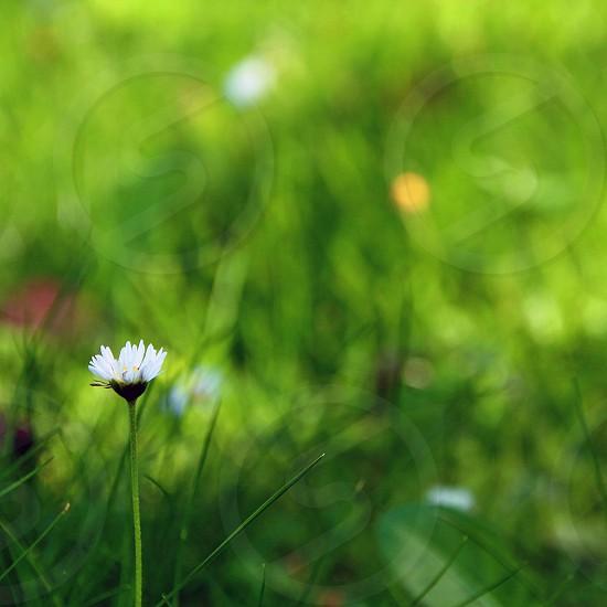 one single alone daisy green lawn photo