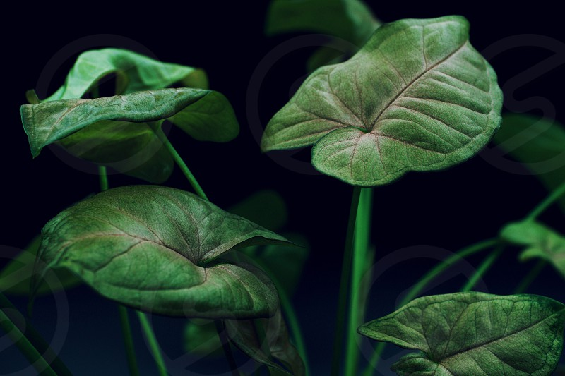 Isolated view of a Pink coleus plant against a dark background photo