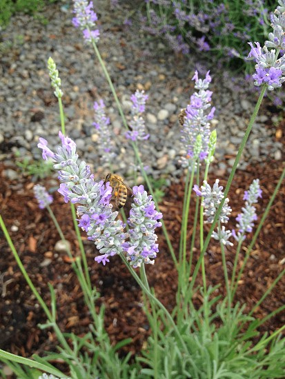 Honeybee on lavender plant photo