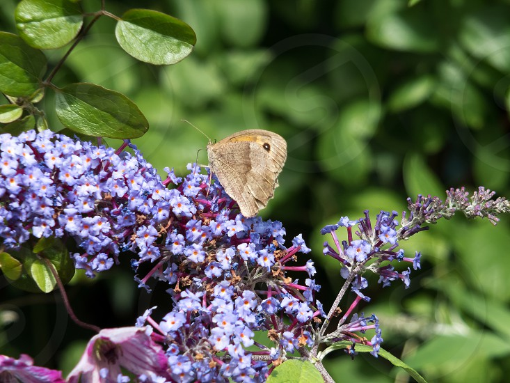 Meadow Brown Butterfly (Maniola jurtina) Feeding on Buddleia photo
