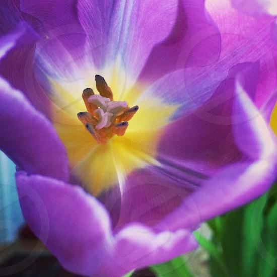 Inside a Purple Tulip  photo