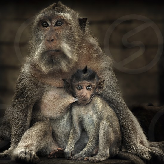Long-tailed Macaques (Macaca fascicularis) mother and baby. On the island of Bali the long-tailed macaques like to hang around near humans as they often are given a bite to eat. You often see them around temples. photo