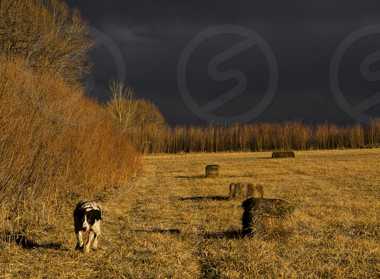 Golden hour in a field with dog (Brittany Spaniel). Near Boulder Colorado. photo