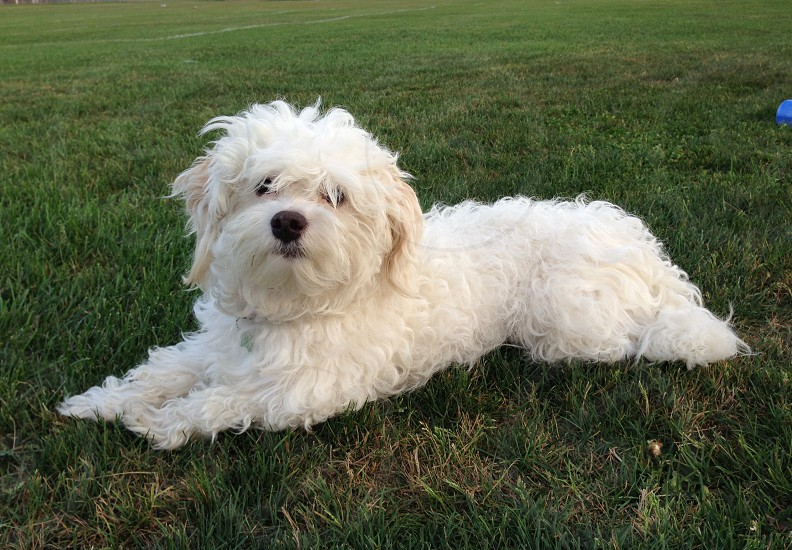 Lily White Havanese photo