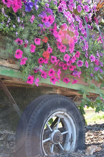 Petunias old truck tires flowers farm photo