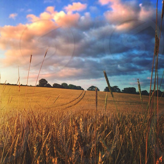 Wheat field countryside tracks nature landscape farm farmland dusk sunset national trust empty free wild lost photo