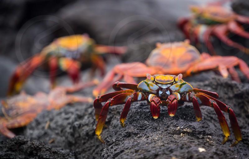 Crab wildlife galapagos lava rainbow colorful animal wild sally Lightfoot Ecuador portrait photo