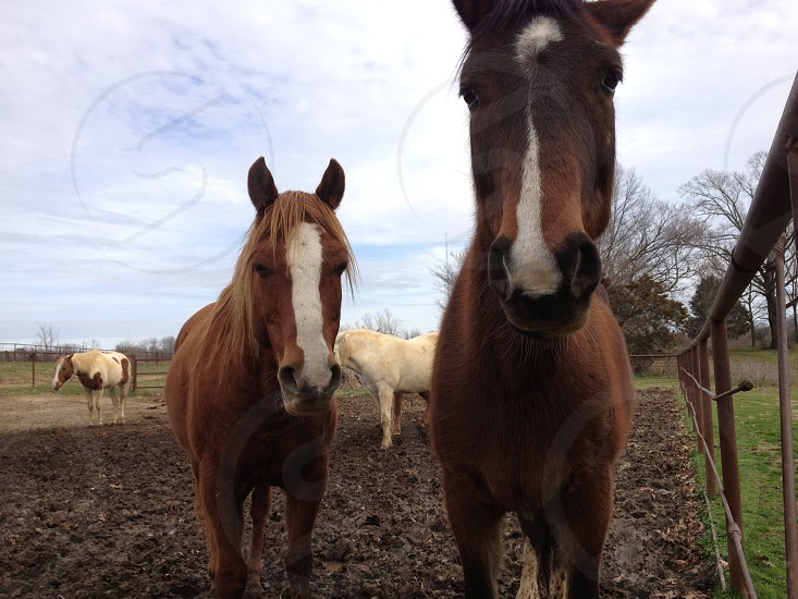 2 brown horses and 2 white horses photo