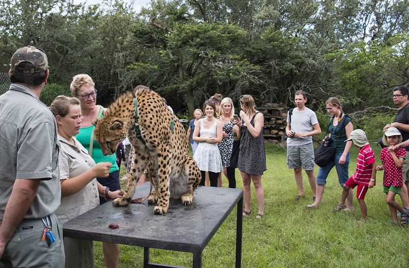 LimpopoSouth africaPeople getting information about cheetahMoholoholo Nature Reserve and Wildlife Rehabilitation Centre is founded in 1991 in Limpopo South Africa to remain the life of the animals photo