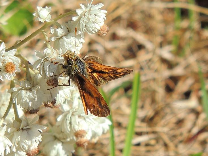 Beach Moth photo