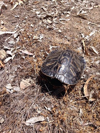 brown and black tortoise photo
