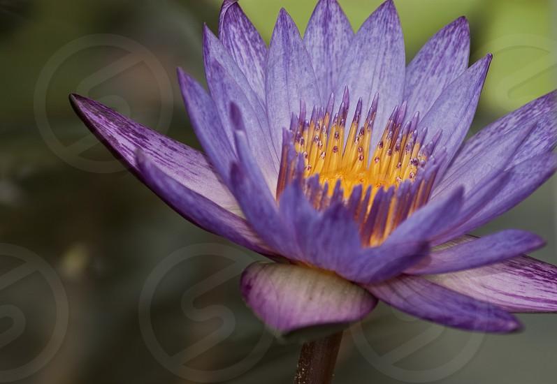 Purple Lotus in a Botanic Garden in Spring Texas photo