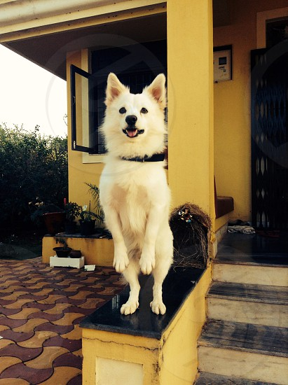 Dog Pomeranian stand two legs house trick happy ask smart  photo