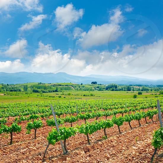 vineyard in El Bierzo of Leon by Saint James Way at Castilla Spain photo