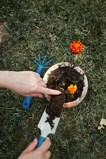 Gardener replanting a plant into a new pot. Top view of female hands planting a flower. Using tools rake and shovel. Real people authentic situations photo