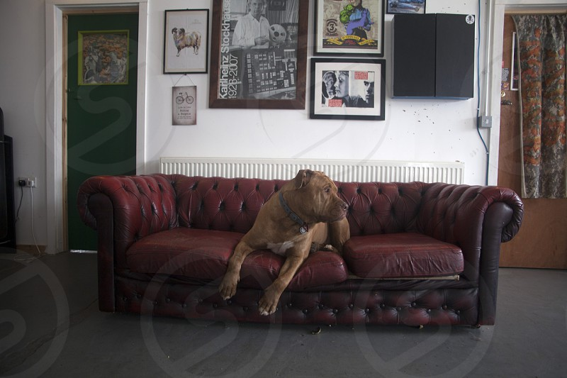 large brown dog on tufted black red sofa photo