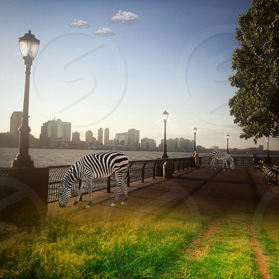 Zebras on Grass in the Sun by Park Benches photo
