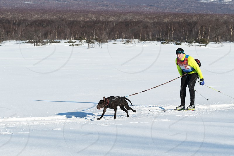 PETROPAVLOVSK-KAMCHATSKY KAMCHATKA PENINSULA RUSSIA - DECEMBER 10 2016: Kamchatka skier-racer Khoroshilov Andrey and sled dog nicknamed Hera. Skijoring - competition for Cup of Kamchatka Region photo