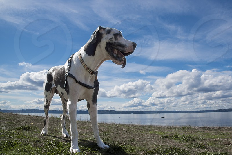 Harlequin Great dane dog standing by the sea photo