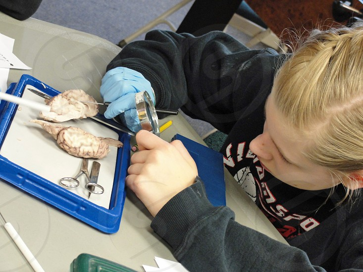 Female student doing sheep brain dissection. photo