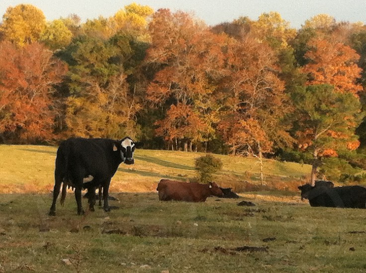 Contented Cows photo