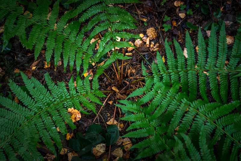 Fern bush from a top down angle photo