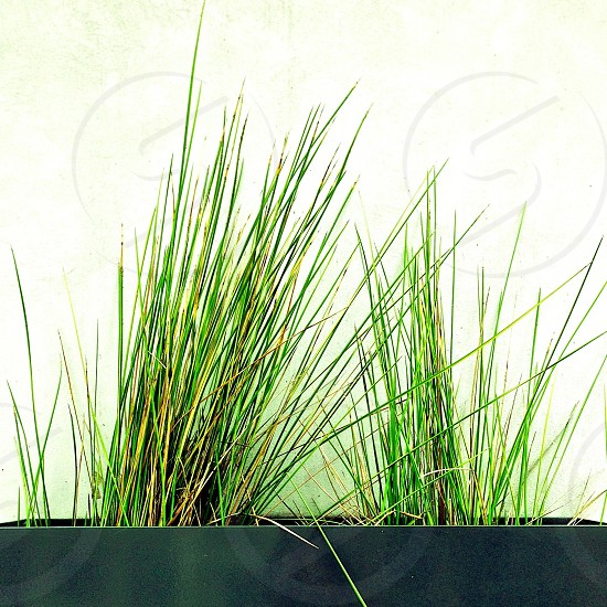 potted wheatgrass photo