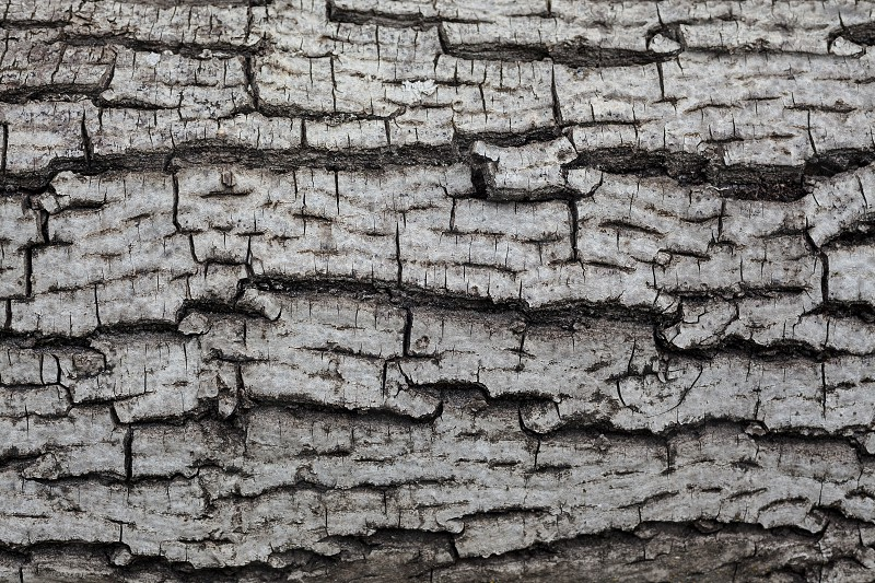 Details of an old wooden texture tree bark pattern.  photo