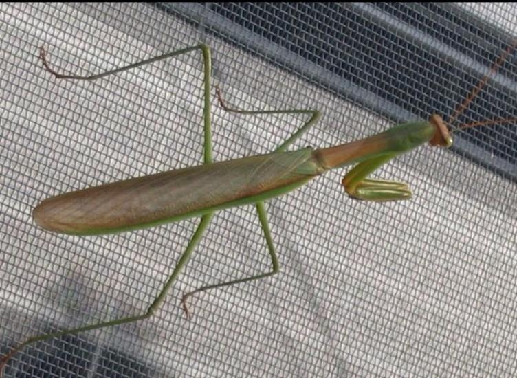 Praying mantis photo