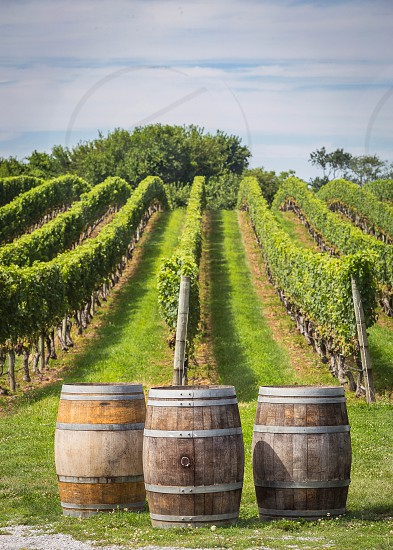 Vineyard on the north fork of Long Island Mattituck  NY photo