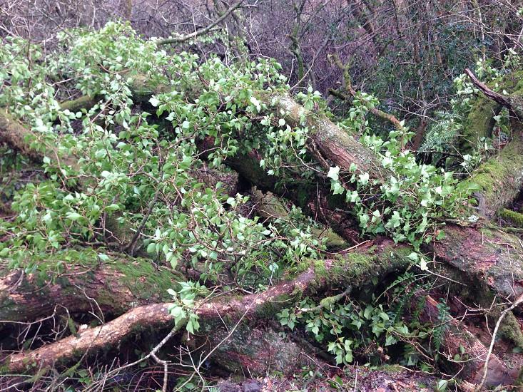 Fallen Oak photo