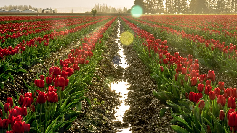 feild of red tulips under white sky during daytime photo