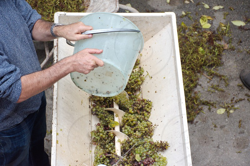 Different types of grapes crushed by grape crusher machine in rural vineyard in Croatia photo
