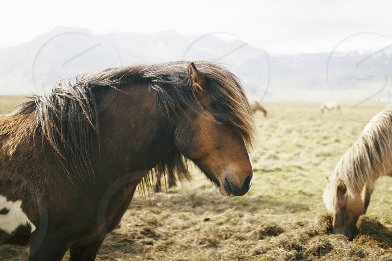 Icelandic Pony photo