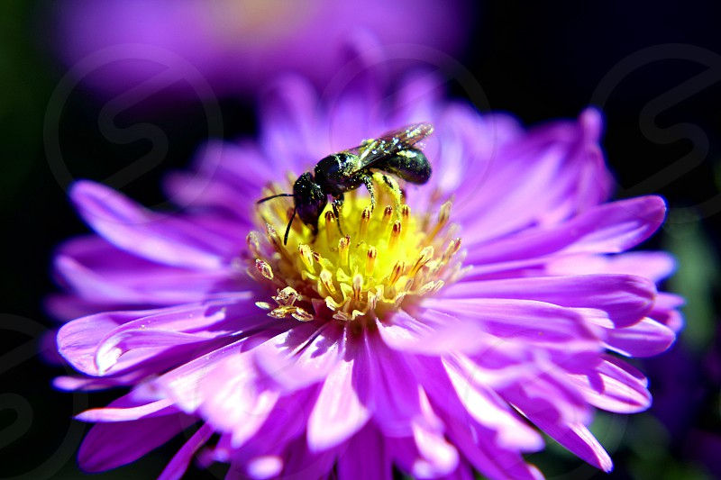 Small Carpenter Bee (Ceratina (Zadontomerus)) collecting pollen from an Aster flower. photo