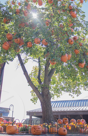green tall tree decorated with orange pumpkins photo