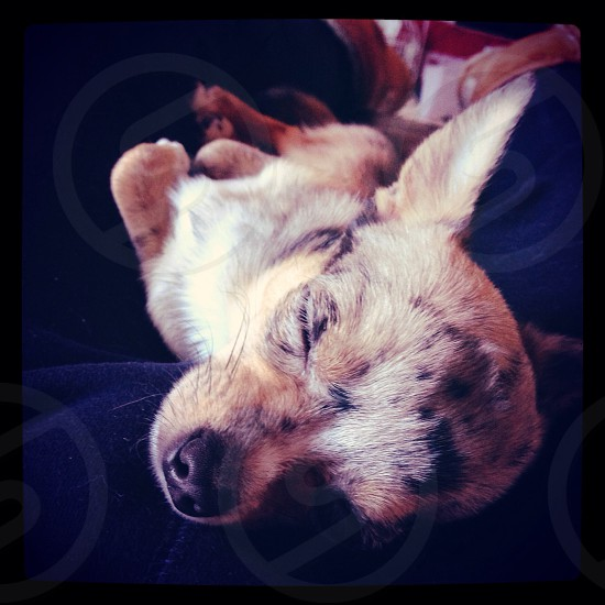 My wonderful chihuahua charlie :-) life is tiring being a chi  photo