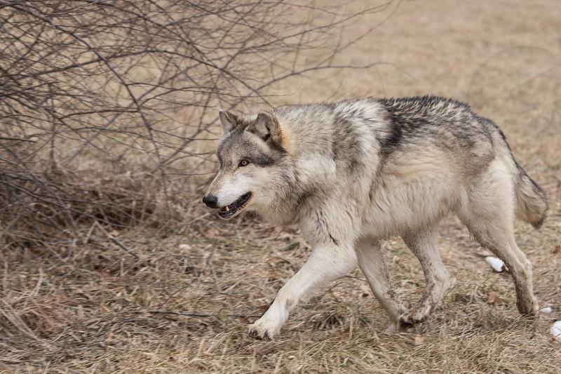A wolf running  photo