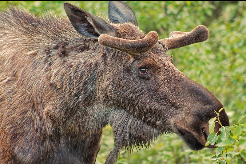 Close-up of a profile of an Alaskan moose grazing on plants. photo