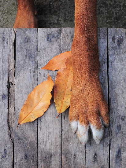 red short coat dog lean on 3 brown leaves photo