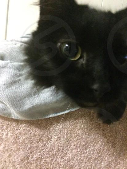 Cat black pretty pet  photo