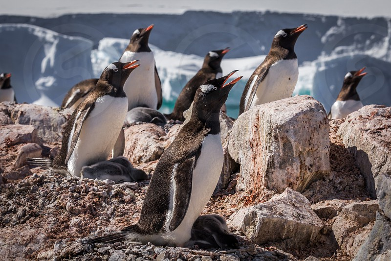 Gentoo penguins in Antarctica photo