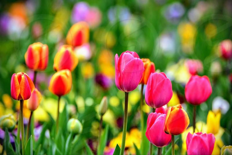 Vibranttulips photo