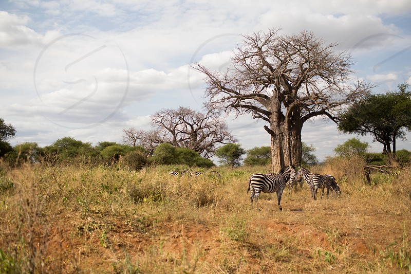 2 zebra animal standing on grass covered ground near leaf less tree under white clouds during daytime photo