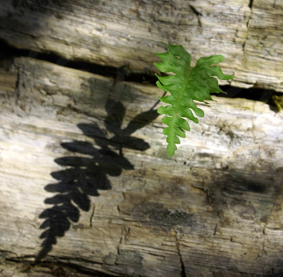 green fern growing out of wooden log photo