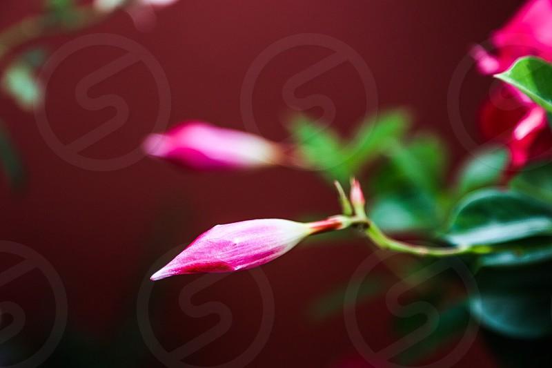 Nature flower flowers cerise pink beauty beautiful background wallpaper sharp sharpness botanic floral flora knob  photo