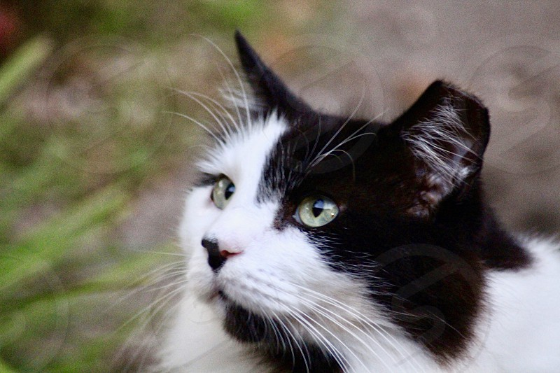 Rescue kitty black and white cat domestic pet loved photo